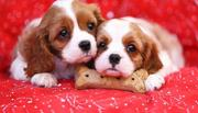 Two baby Cavalier King Charles Puppy