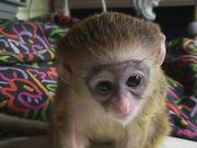 Capuchin monkey for adoption
