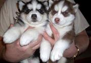 Male and female blue eyes siberian husky puppy still available