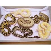 Ball Python Snakes For Re Homing.