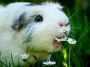 a cute guniea pig for adoption.