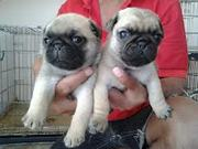 Champion Bloodline Pug Puppies For Adoption (435) 915-7863
