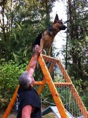Registered German Shepherd pups