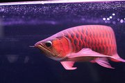 Super Red Arowana Chili Red Arowana Malaysian Red Arowana For sale