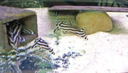 Pleco L046 and others for sale