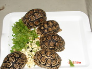 Hermann,  Sulcata,  Leopad And Other Breeds Of Tortoise