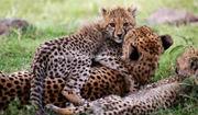 African Servalcat Safaris Tours Kenya Tanzania